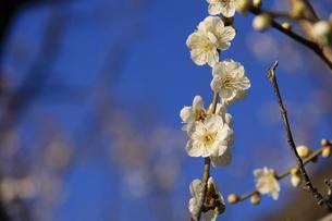 梅の花の写真素材 [FYI01211031]