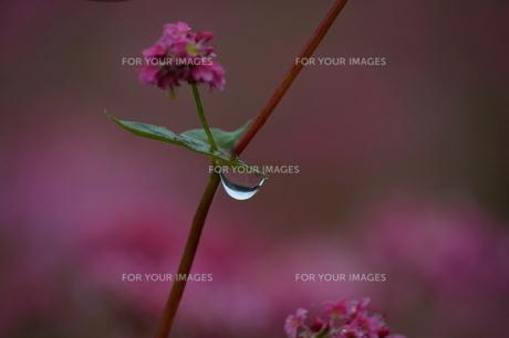 赤蕎麦 高嶺ルビーの写真素材 [FYI01211085]