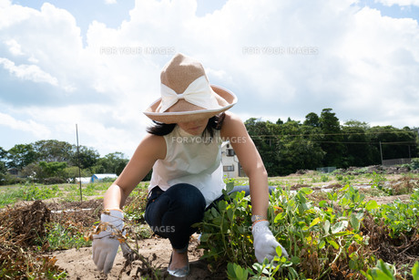 農家仕事をする女性の写真素材 [FYI01211110]