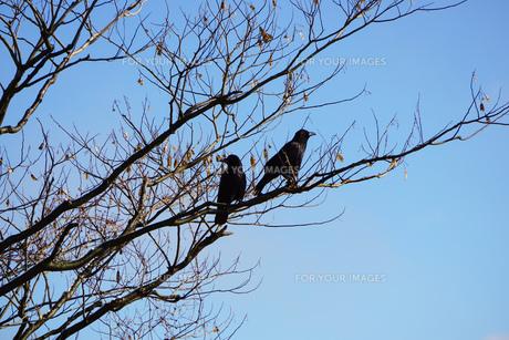木の上に止まるカラス 秋冬の写真素材 [FYI01211177]