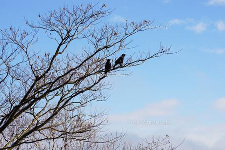 木の上に止まるカラス 秋冬の写真素材 [FYI01211178]