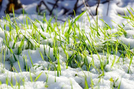 初雪 雪で覆われた植物の写真素材 [FYI01211179]