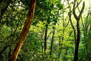 木々、樹海、木漏れ日、KOMOREBIの写真素材 [FYI01211198]