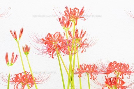 季節の背景素材・ヒガンバナの写真素材 [FYI01211277]