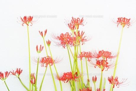 季節の背景素材・ヒガンバナの写真素材 [FYI01211279]