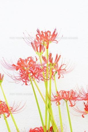 季節の背景素材・ヒガンバナの写真素材 [FYI01211280]