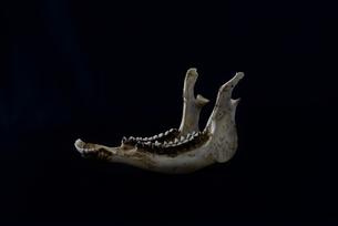 鹿 スケルトン 標本の写真素材 [FYI01211422]