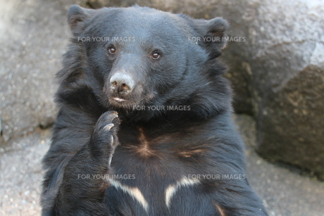 熊の写真素材 [FYI01211435]