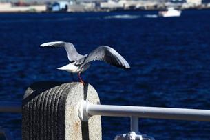 港の柵に乗り翼を広げるカモメの写真素材 [FYI01211535]