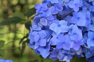 紫陽花の写真素材 [FYI01211678]