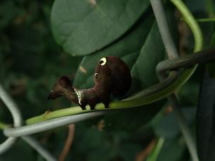 アケビコノハの幼虫の写真素材 [FYI01211807]