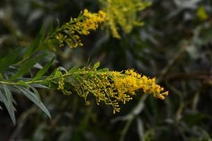 セイダカアワダチソウ(背高泡立草)・ 茎はすだれの材料 花ハーブティ 若芽は天ぷら の写真素材 [FYI01211865]