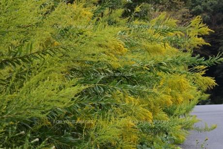 セイダカアワダチソウ(背高泡立草)・ 茎はすだれの材料 花ハーブティ 若芽は天ぷら の写真素材 [FYI01211868]