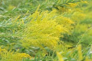 セイダカアワダチソウ(背高泡立草)・ 茎はすだれの材料 花ハーブティ 若芽は天ぷら の写真素材 [FYI01211870]