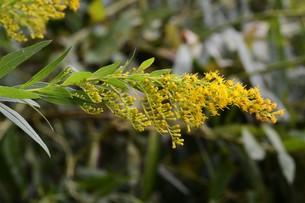 セイダカアワダチソウ(背高泡立草)・ 茎はすだれの材料 花ハーブティ 若芽は天ぷら の写真素材 [FYI01211872]