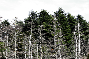 冬のプラタナスの木立の写真素材 [FYI01211893]