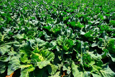 鮮やかな新鮮なキャベツの畑の写真素材 [FYI01211897]