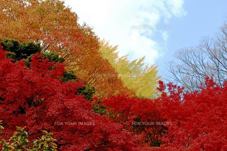 カラフルな紅葉の森の写真素材 [FYI01211898]