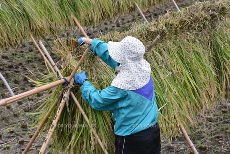 伝統的農法 イネの掛け干し ・ 昔ながらの天日干しで美味いコメづくり。の写真素材 [FYI01211975]