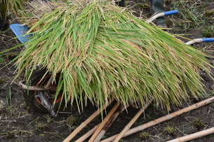伝統的農法 イネの掛け干し ・ 昔ながらの天日干しで美味いコメづくり。の写真素材 [FYI01211976]