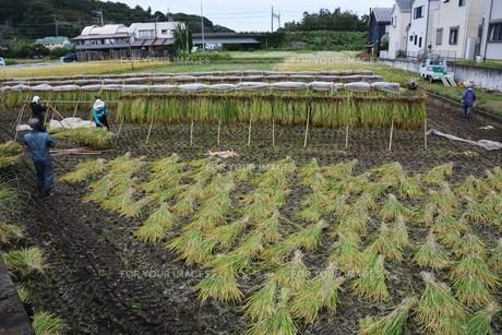 伝統的農法 イネの掛け干し ・ 昔ながらの天日干しで美味いコメづくり。の写真素材 [FYI01211977]