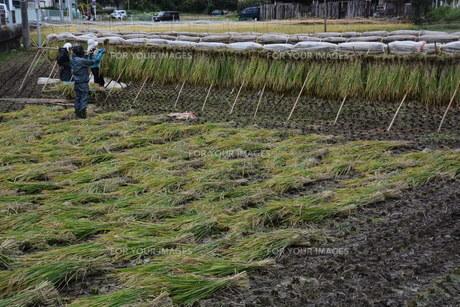 伝統的農法 イネの掛け干し ・ 昔ながらの天日干しで美味いコメづくり。の写真素材 [FYI01211979]