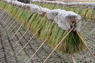 伝統的農法 イネの掛け干し ・ 昔ながらの天日干しで美味いコメづくり。の写真素材 [FYI01211980]
