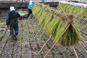 伝統的農法 イネの掛け干し ・ 昔ながらの天日干しで美味いコメづくり。の写真素材 [FYI01211981]