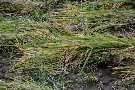 伝統的農法 イネの掛け干し ・ 昔ながらの天日干しで美味いコメづくり。の写真素材 [FYI01211982]