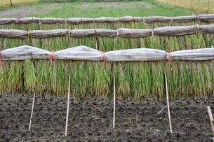 伝統的農法 イネの掛け干し ・ 昔ながらの天日干しで美味いコメづくり。の写真素材 [FYI01211983]