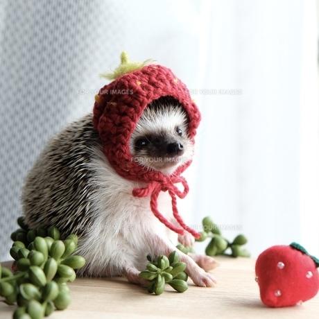 ハリネズミとイチゴ(ニット帽)の写真素材 [FYI01212059]