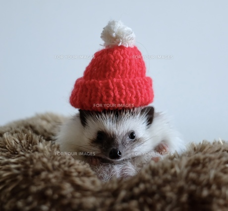 ハリネズミと赤い帽子の写真素材 [FYI01212066]