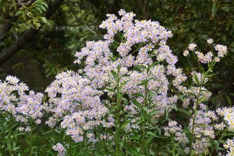 シオン(紫苑)の写真素材 [FYI01212149]
