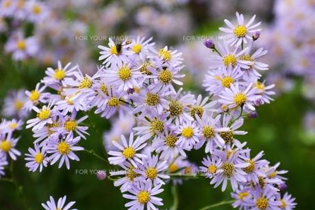 シオン(紫苑)の写真素材 [FYI01212150]