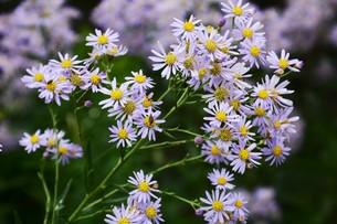 シオン(紫苑)の写真素材 [FYI01212151]