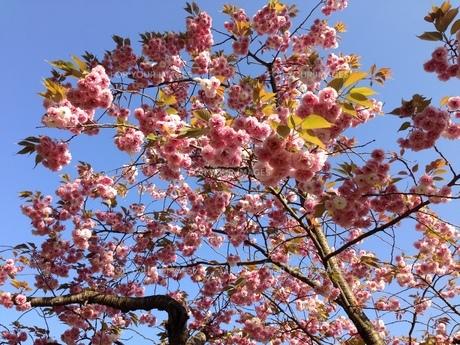 桜の写真素材 [FYI01212227]