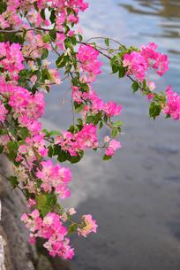 ブーゲンビリアのの花の写真素材 [FYI01212229]