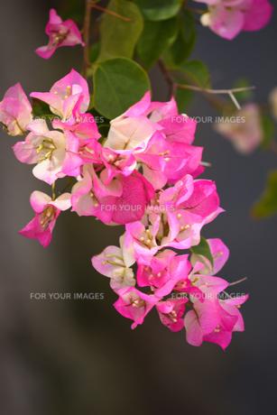 ブーゲンビリアのの花の写真素材 [FYI01212230]