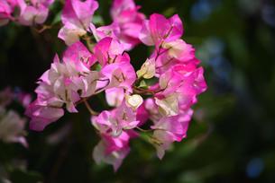 ブーゲンビリアの花の写真素材 [FYI01212231]