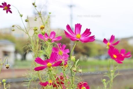 秋風に揺れるピンク色のコスモスの写真素材 [FYI01212270]