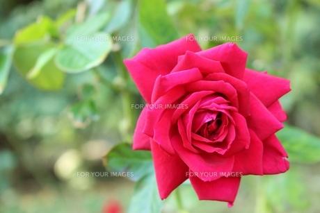 植物園に咲く真っ赤なバラの写真素材 [FYI01212415]