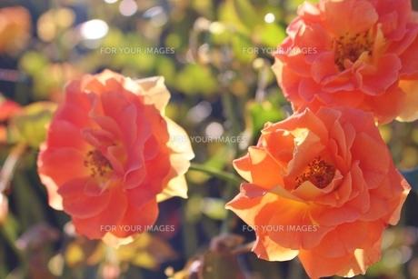 ビタミンカラーの美しいバラの写真素材 [FYI01212416]