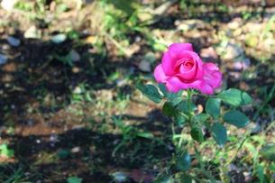 植物園のピンク色のバラの写真素材 [FYI01212418]
