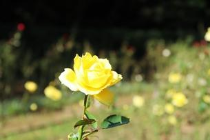 ビタミンカラーの美しいバラの写真素材 [FYI01212423]