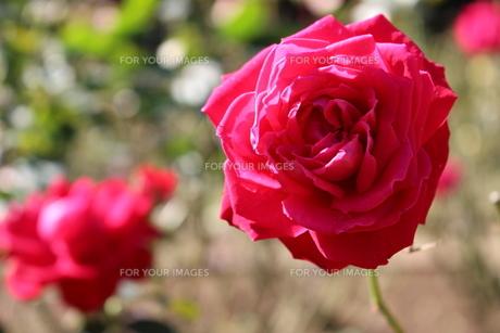 植物園に咲く真っ赤なバラの写真素材 [FYI01212426]