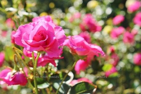 植物園のピンク色のバラの写真素材 [FYI01212427]