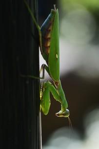 ハラビロカマキリ(腹広蟷螂)の写真素材 [FYI01212445]