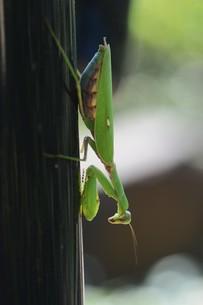 ハラビロカマキリ(腹広蟷螂)の写真素材 [FYI01212447] | ストック ...