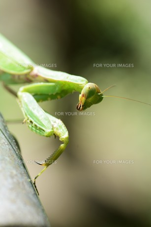 ハラビロカマキリ(腹広蟷螂)の写真素材 [FYI01212448] | ストック ...