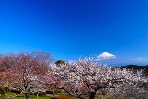 富士山と梅の写真素材 [FYI01212471]